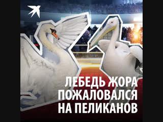 Лебедь Жора пожаловался на пеликанов