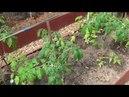 Дача. Цветет ирга. Весенние клумбы. Высадила томаты в теплицу. Часть 2.