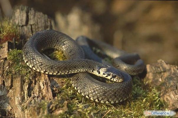 Разница между ужом и гадюкой Немногие могут похвастаться тем, что благосклонно относятся к «гадам ползучим». Хотя, в европейской части России встретить ядовитую змею редкость . Гораздо чаще