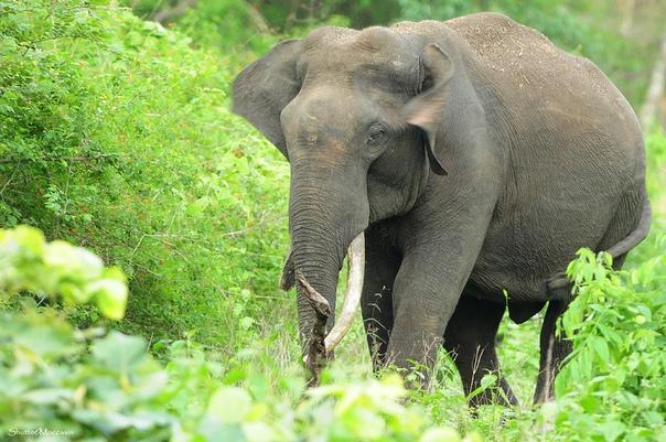Разница между африканским и индийским слоном Человек питает уважение к слонам издавна: его завораживает их неспешная поступь, восхищают вдумчивые глаза и удивляет гигантский размер животного.
