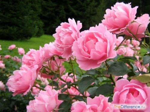 Разница между розой и шиповником Украсить свой сад розами мечта многих садоводов. Растение это красивое, но очень прихотливое, поэтому выход для многих начинающих садоводов роза дикая или