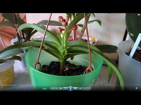 Уход за Аскоцендой когда она растит цветонос.