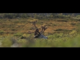 Crawling Up to a Woodland Caribou with a Bow