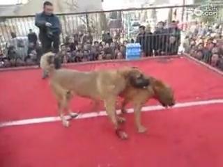Собачьи бои тоса ину против кангала