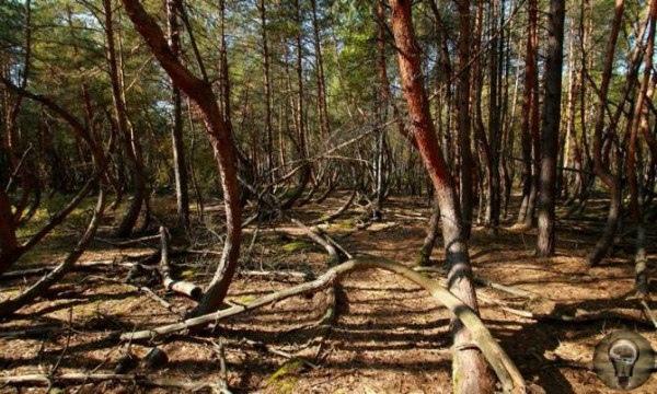"""""""Пьяный"""" лес в Рязанской области: Кто согнул деревья"""