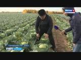 Время «рубить капусту» - в Марий Эл урожайный год