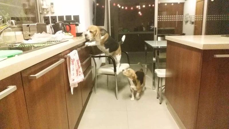 Perro Beagle Inteligente