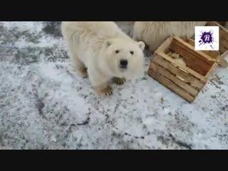 Режим ЧС на Новой земле из-за нашествия белых медведей.