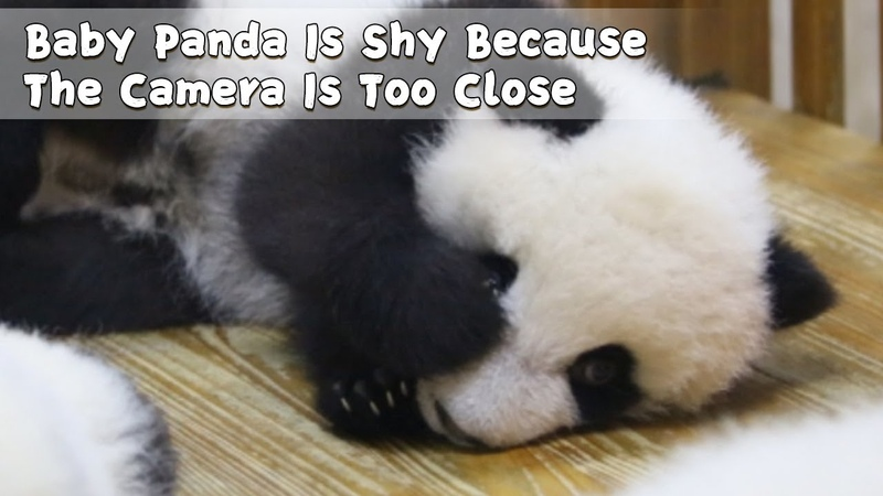 Baby Panda Is Shy Because The Camera Is Too Close iPanda
