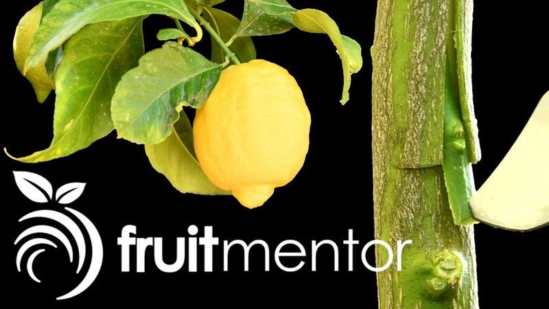 Injerto de Limonero - Cómo Injertar un Limonero por Escudete o Yema en T