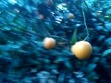 Собираем апельсинки и лимончики