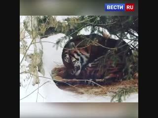 Тигр в ожидании Нового года в Московском зоопарке 🎄