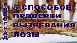 Виноград. 5 (пять) простых Способов определения степени вызревания лозы.