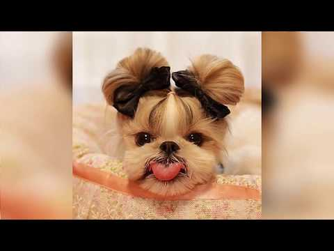 Shih Tzu Haircut Ideas and Grooming Styles -DogJoo