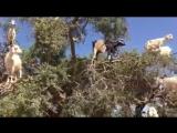 Ничего необычного, просто козы на деревьях