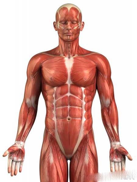 Большая часть мышечной системы почти всегда находится в форме частичного сокращения.
