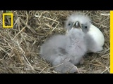 Highlights of Cute Baby Eaglets From D.C.s Eagle Cam National Geographic