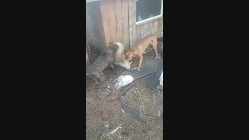 собака лиса бой