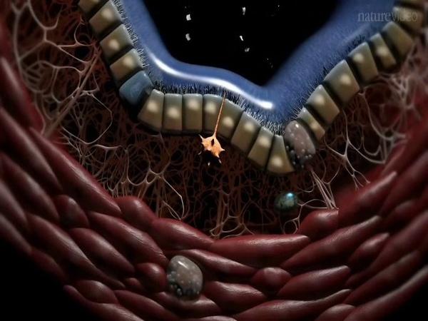 Иммунная система легких - BALT