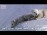 Amazing Animal Babies_ Polar Bear Cubs