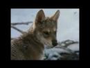 волчья преданность