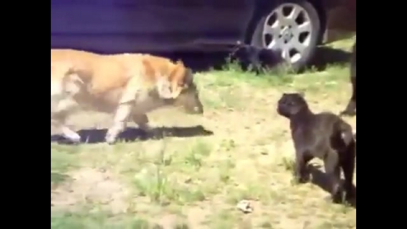 Собаки РАЗРУЛИЛИ драку котов....