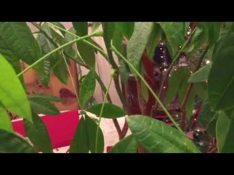 Пахира. Малабарский каштан неожиданно пошёл в рост после подкормки для орхидей, камелий и азалий