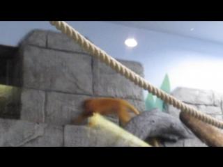 Подросший и неуловимый малыш золотистого львиного тамарина 30.08.18