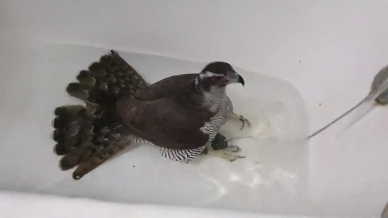 Сильва ванна = Сильвана Ястреб и водные процедуры