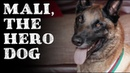 Mali, the hero dog