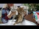 Презентация питомника шотландских кошек ФЕЛИС ГЕРДА