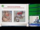Капто А.А. Анатомические и физиологические предпосылки влияния варикоцеле на фертильность