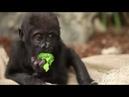 Самый забавный детеныш гориллы