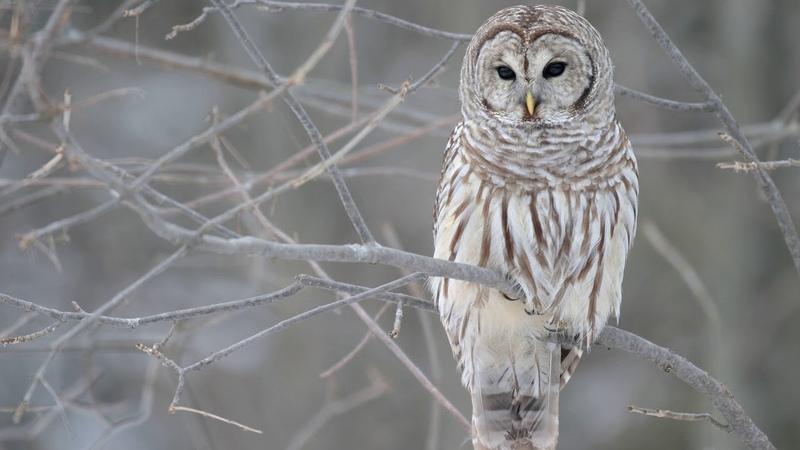 Картинка птицы Дерево серый сова ветви зима осень