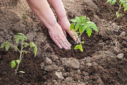 Первая подкормка томатов после высадки грун
