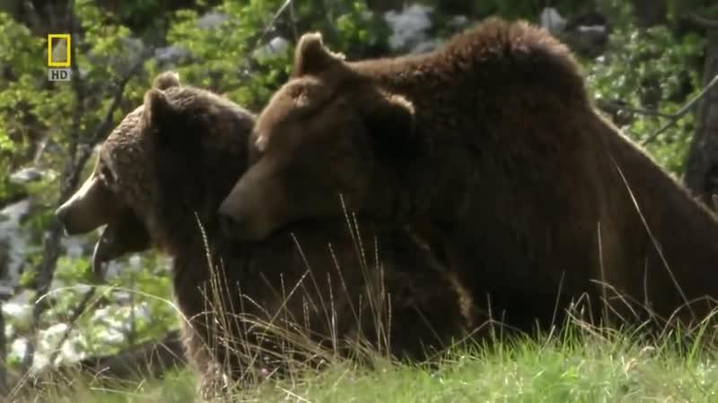 Долина Гризли ¦ Документальный фильм о медведях Гриз 2016