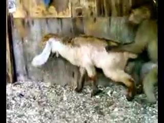 Обезьяна ебёт козю