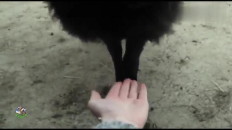 Овцы выросшие с собаками-пАстухами, думают, что они тоже собаки