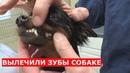 Вырвали и почистили зубы собаке.Помогли бездомной собаке.Ветеринарное ранчо