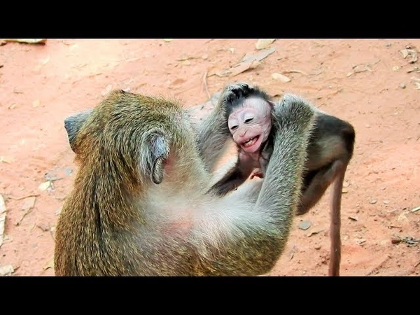 Poor Baby Monkey Very Small Mom Weaning
