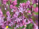 Сиреневый сад на Щелковском шоссе .. Сейчас в цвету ... Успейте нанюхаться сиреневыйсад садмосква