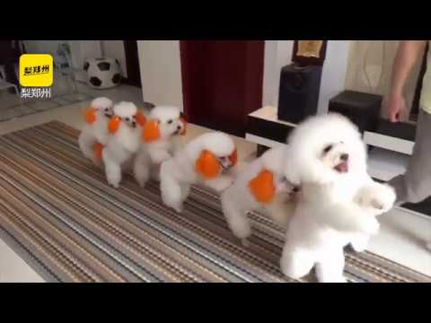 Cuteness overload See how 6 toy poodles showcase their special skills