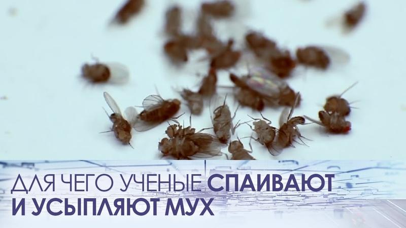 Для чего ученые спаивают и усыпляют мух