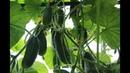 Во саду ли в огороде Эти Огурцы Буду Сажать Всегда Высокий Урожай В Любых Условиях