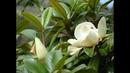 *** - Amazing Spring Flowers - Magnolia - *** Music- Sergei Chekalin