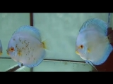 Пара голубых Бриллиантов с мальками от Zohar Discus Dagbarama