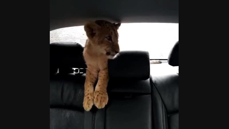 Львенок