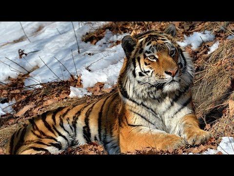 Амурский тигр. Документальный фильм, national geographic, nat geo wild, discovery, bbc.