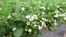 Супер урожайность ремонтантной клубники Спаржи. Клубничная ферма Поле Чудес.