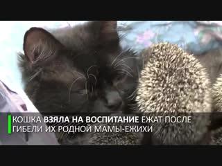 Мама Муся- кошка усыновила восьмерых ёжиков-сирот